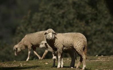 La Junta autoriza el uso de alimento convencional para el ganado ecológico como medida excepcional por la sequía