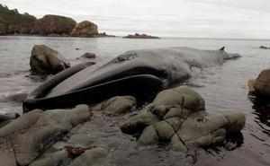 Muere una ballena de 16 metros varada en la costa asturiana