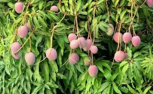 Alertan del robo de mangos inmaduros antes del inicio de la campaña