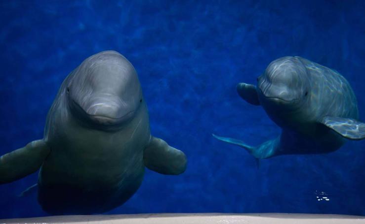 Dos ballenas liberadas, el reto inaudito de un malagueño