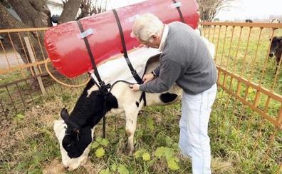 Fracasa el invento para aprovechar el metano de las vacas