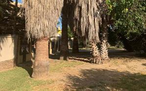 Guadalmar: palmeras sin cuidado alguno