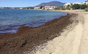 El temporal provoca arribazones del alga asiática invasora a Marbella y Estepona