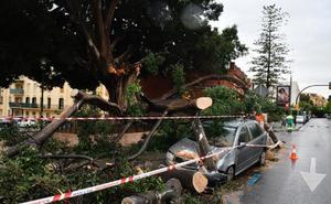 Un rayo parte el emblemático árbol de Reding en La Malagueta
