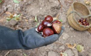Los productores de castañas prevén una campaña baja por la falta de lluvias en Ronda y la Serranía