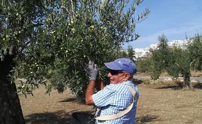 La falta de lluvia y el granizo marcan la campaña de la aceituna Aloreña