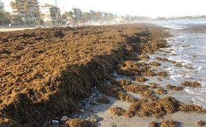 El Gobierno encarga a la UMA el análisis de riesgos para definir al alga asiática como invasora
