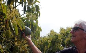 Así es la ruta turística que da a conocer los cultivos de mangos y aguacates de la Axarquía
