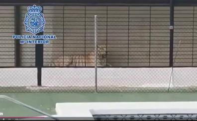 Detienen a una pareja de narcos que tenían un tigre albino como mascota de lujo en un chalet