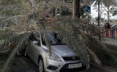 La caída de un ejemplar sobre un coche pone en evidencia el mal estado de las palmeras Avenida del Mediterráneo