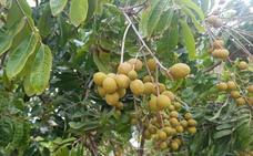 Los nuevos tropicales que llaman a la puerta del campo malagueño