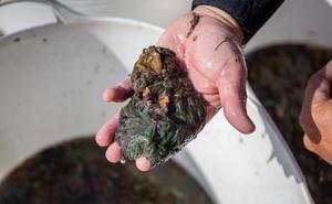 Las mejores ortiguillas de mar se recolectan en el litoral malagueño
