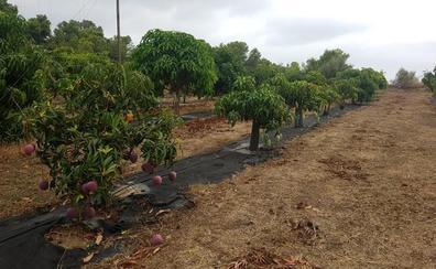 La carrera por los mangos sin hueso ha comenzado en Málaga