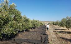 Olivareros malagueños aplauden que Bruselas apruebe el almacenamiento privado del aceite de oliva