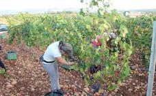 La Serranía de Ronda cierra la vendimia con leves pérdidas por las altas temperaturas
