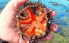 Erizo, el dulce sabor de la mar