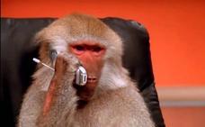 La historia tras los gifs de los babuinos oficinistas