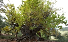 El Castaño Santo de Istán, más cerca de convertirse en Monumento Natural