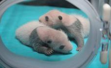 Los gemelos panda viven como bebés