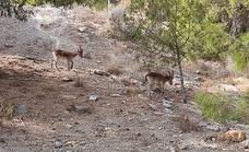 Dos cabras monteses se pasean por el Limonar y Parque Clavero