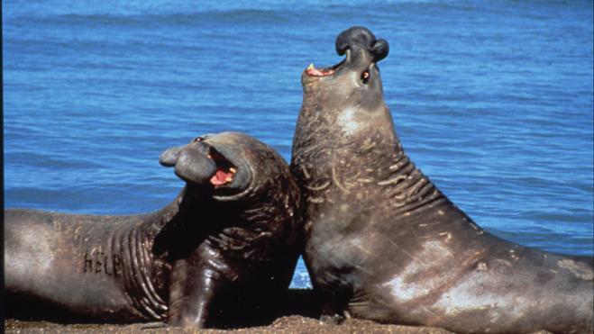 La captura de leones y osos marinos durante dos siglos alteró el ecosistema del Atlántico Sur