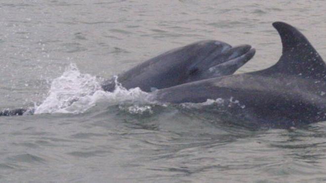 El delfín 'malayo', el terror de la Axarquía